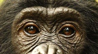 Affiche du film : Bonobos