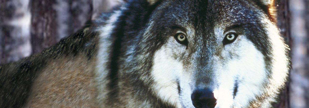 Photo du film : Les loups