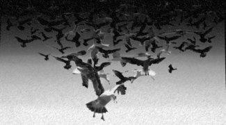 Affiche du film : Les oiseaux